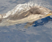Pouvoir nager avec des dauphins ou une baleine sauvage… le rêve (Côte d'Azur) !